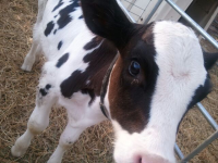 Baby Calf at Cedarburg Petting Zoo