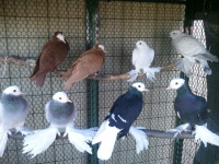 Eight Pigeons in Ozaukee County Petting Zoo