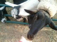 Friendly Sheep at Cedarburg Petting Zoo